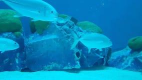 Mundo subaquático maravilhoso e bonito com corais e os peixes tropicais video estoque