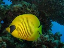 Mundo subaquático nas águas profundas na flora das flores do recife de corais e das plantas em animais selvagens do mundo azul, e fotografia de stock royalty free