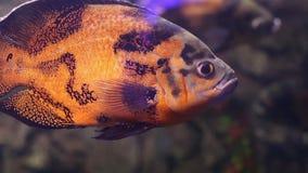 Mundo subaquático Peixes corais do Mar Vermelho Egypt filme