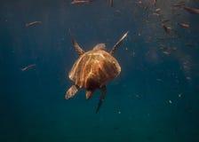 Mundo submarino Tartaruga de mar Foto de Stock