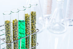 Mung Bean genetically modified, Plant Cell Royalty Free Stock Image