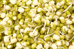 Mung bean germinated sprouts Royalty Free Stock Image