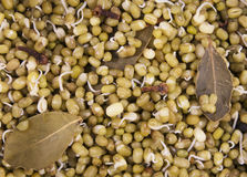 Mung bean germinated sprouts (boiled moong) Royalty Free Stock Photo