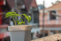 Mung bean plants grown in pots at home stock photo