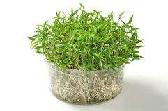 Mung bean sprouts Stock Photo