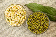 Mung bean sprouts and mung bean dry. Growing mung bean sprouts. Mung bean sprouts and mung bean dry stock image