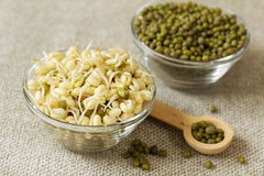 Mung bean sprouts and mung bean dry. Growing mung bean sprouts. Mung bean sprouts and mung bean dry royalty free stock photos
