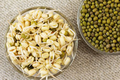 Mung bean sprouts and mung bean dry. Growing mung bean sprouts. Mung bean sprouts and mung bean dry. Focus on sprouts royalty free stock photo