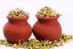 Mung bean sprouts on pots with white backdrop Royalty Free Stock Images