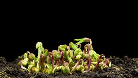 Mung beans germination on black background stock footage