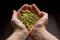 Mung beans in the hands on wooden background Royalty Free Stock Photography