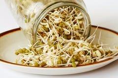 Mung beans seedling Royalty Free Stock Image