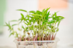 Mung beans seedlings Royalty Free Stock Photo