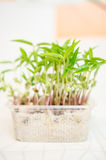 Mung beans seedlings Royalty Free Stock Photography