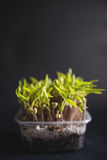 Mung beans seedlings Stock Images