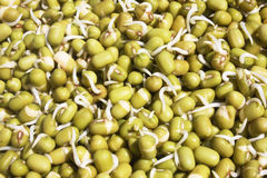 Mung Beans Sprouting. On day one Royalty Free Stock Image