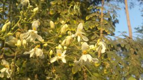Munga-Blumen lizenzfreies stockfoto
