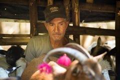 Mungendo le pecore il vecchio modo Fotografia Stock Libera da Diritti
