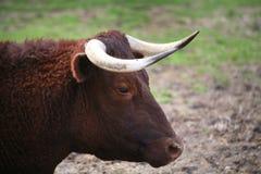 Mungitura del ritratto del bestiame del Devon Fotografia Stock Libera da Diritti