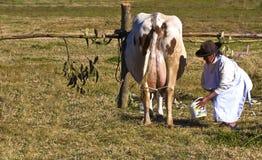 Mungitura della mucca del Perù Immagine Stock