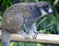 mungor för 5 lemur Royaltyfri Fotografi