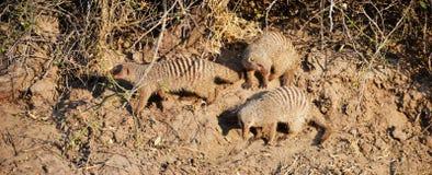 Mungor i den Chobe nationalparken Royaltyfri Fotografi