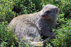 Mungos mungo. Banded Mongoose or Mungos mungo Stock Photography