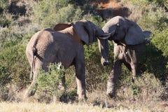 Munhuggas för två tonårs- elefanttjurar Royaltyfri Fotografi