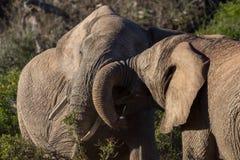 Munhuggas för två tonårs- elefanttjurar fotografering för bildbyråer