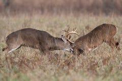 Munhuggas för två vit-tailed hjortbockar arkivbild
