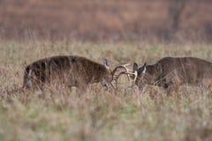 Munhuggas för två vit-tailed hjortbockar royaltyfri bild
