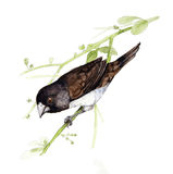 Munia Blanc-rumped Photos stock