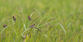 Munia con las semillas Imagen de archivo