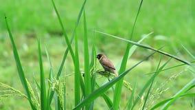Munia escamoso-breasted en arroz-campo metrajes
