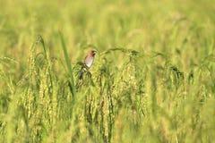 Munia ptaki. Zdjęcie Stock