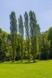 Munich English garden poplar trees Stock Photography