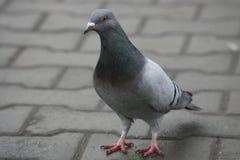 Municipal pigeon Stock Image