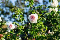 Pink roses blurry background in Rose Gardens stock image