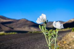 Munita espinhoso de Poppy Argemone que cresce no lado da estrada nas montanhas do Vale da Morte, Califórnia foto de stock royalty free