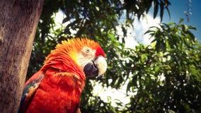 Munkhättor Macao, scharlakansröd papegoja, ara Arkivbilder