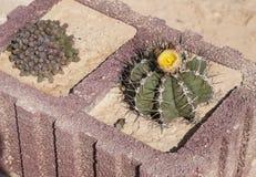 Munks Hood Cactus i blom fotografering för bildbyråer