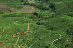 Munnar的茶园 库存图片