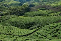 Munnar的茶园 库存照片