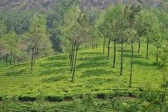 Munnar的,喀拉拉印度茶园 免版税库存图片