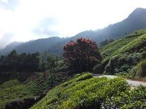 Munnar茶园 库存图片