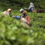 MUNNAR,印度- 2015年12月16日:妇女采摘茶叶 库存图片