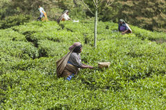 MUNNAR,印度- 2015年12月16日:妇女采摘茶叶 免版税图库摄影