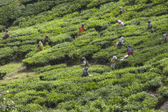 MUNNAR,印度- 2015年12月16日:妇女采摘茶叶 库存照片