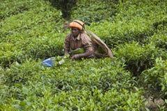 MUNNAR, ÍNDIA - 16 DE DEZEMBRO DE 2015: Folhas de chá da colheita da mulher dentro Fotografia de Stock