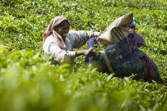 MUNNAR, ÍNDIA - 16 DE DEZEMBRO DE 2015: Folhas de chá da colheita da mulher dentro Imagens de Stock